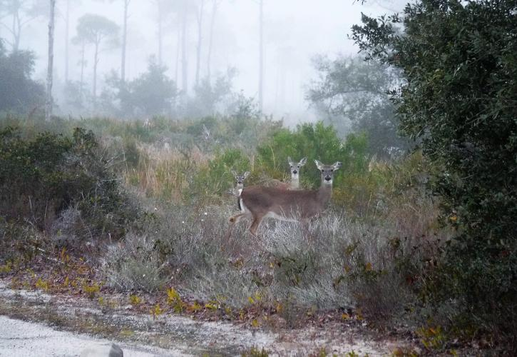 Three white tail deer standing amongst the vegetation on foggy morning.
