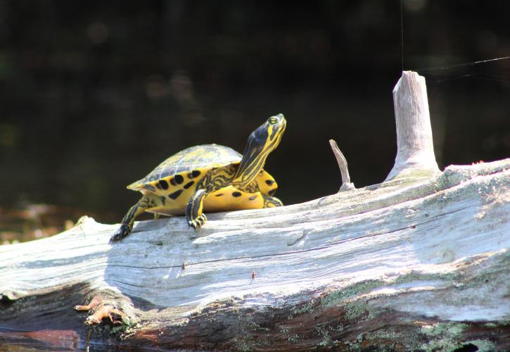 Turtle perched on a log.