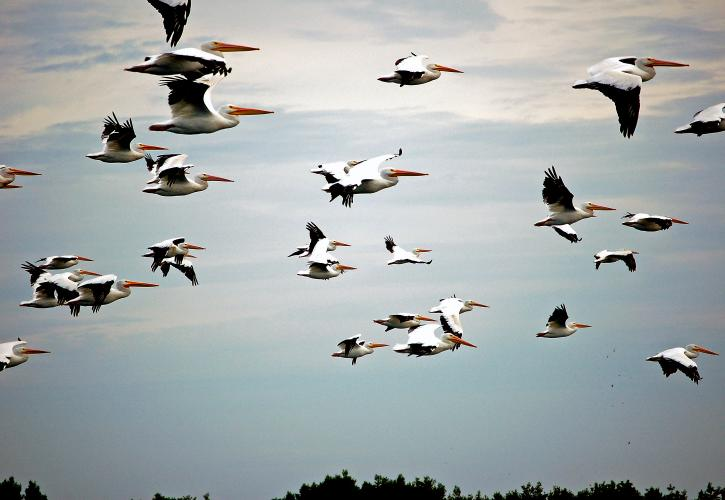 A Group of Pelicans flying in the sky