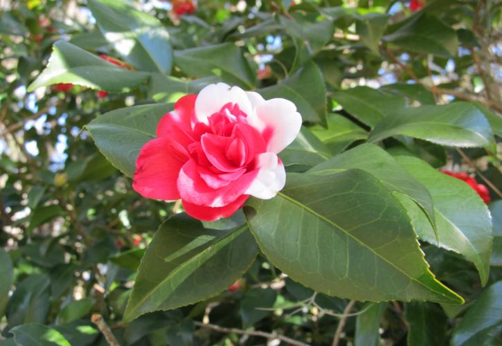 Camellia Flower at Eden Gardens