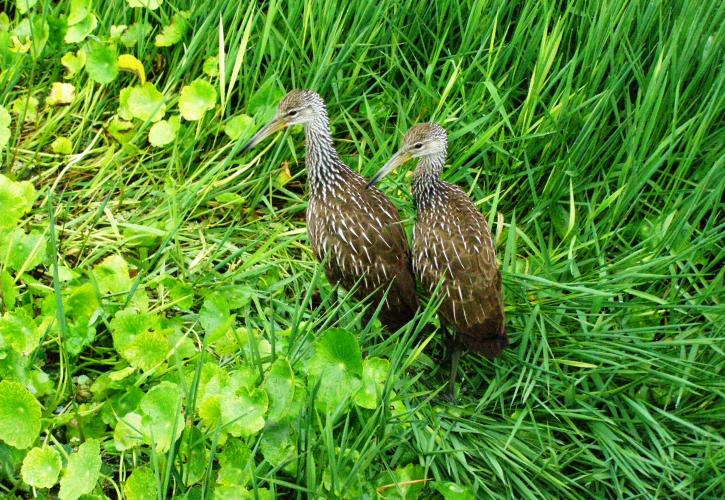 Limpkin Twins sitting in grass