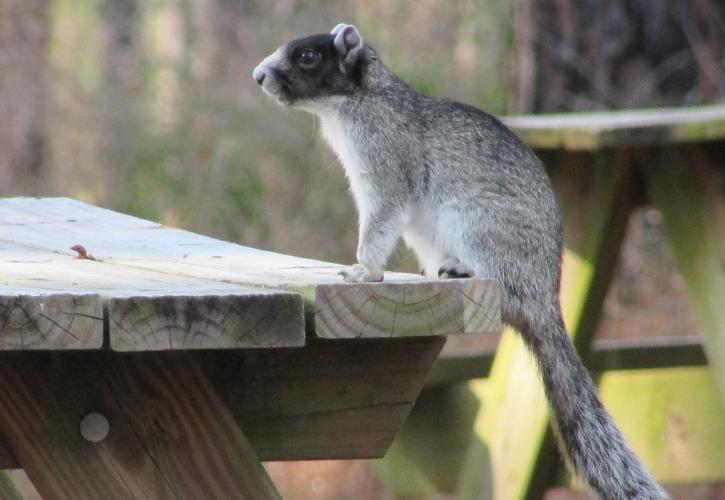Sherman Fox Squirrel sitting on picnic table.