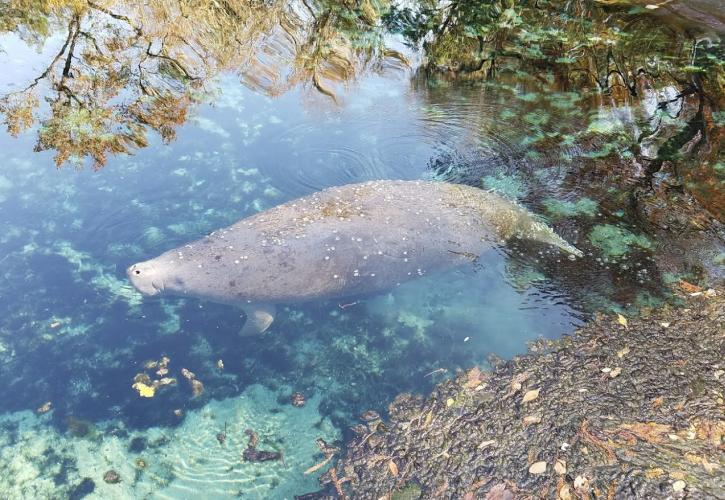 Manatee at Fanning Springs