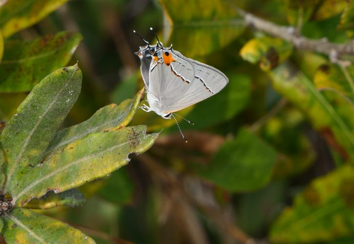Gray Hairstreak butterfly on plant at Estero Bay Preserve