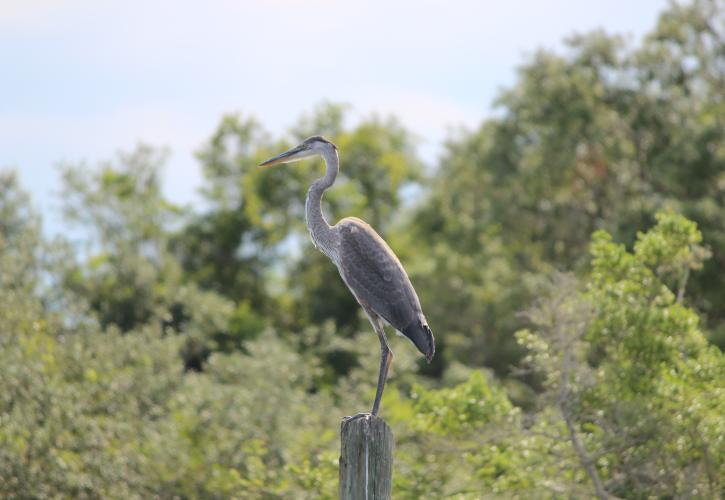 Great Blue Heron sits on a tree with lush green vegetation in the background.