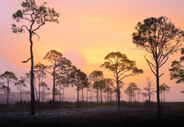 Brilliant sunrise of pink, orange, and yellow shines through tall pine trees.