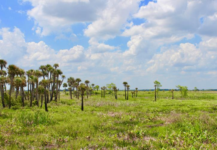 Cabbage palm trees at Kissimmee Prairie