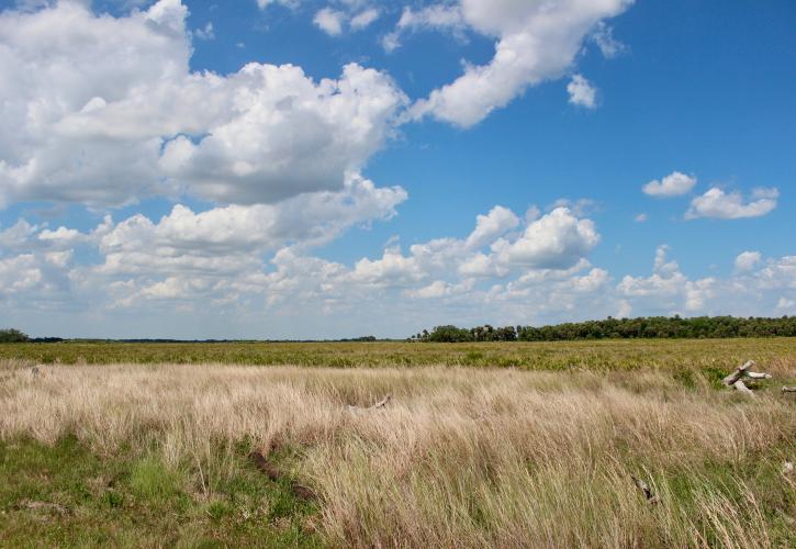 Kissimmee Prairie field with tall grass