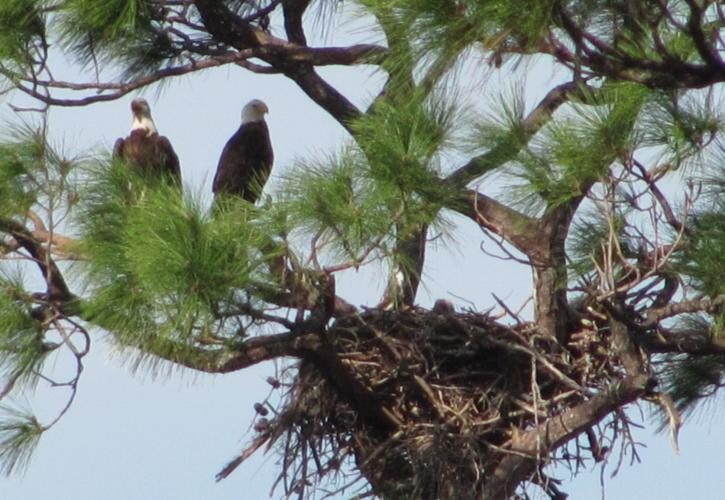 A view of two eagles by their nest.