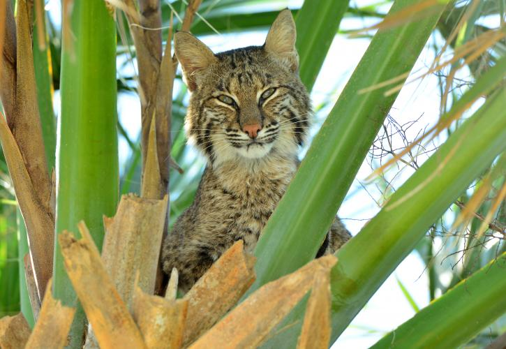 Bobcat at Indian River Lagoon Preserve State Park