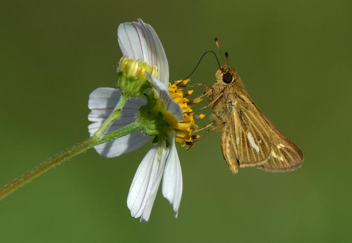 Salt Marsh Skipper at Indian River Lagoon Preserve State Park
