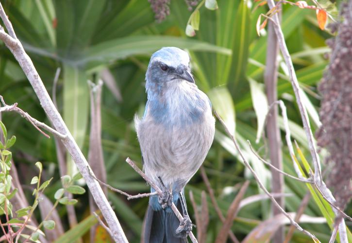 Scrub Jay perched on a branch at Catfish Creek