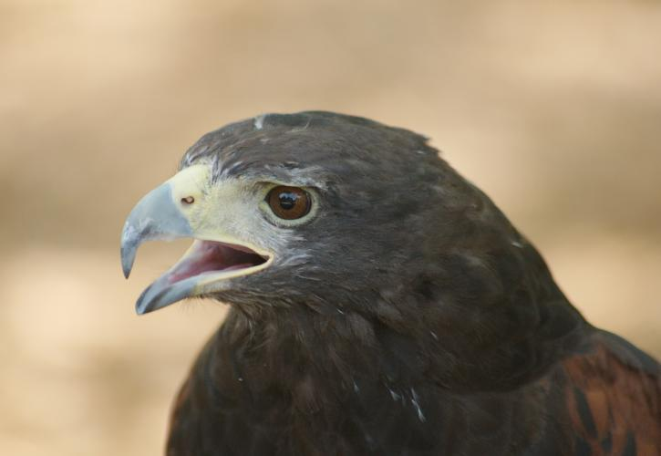 Close up image of hawk.