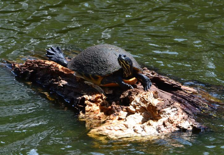 Lake Griffin Turtle