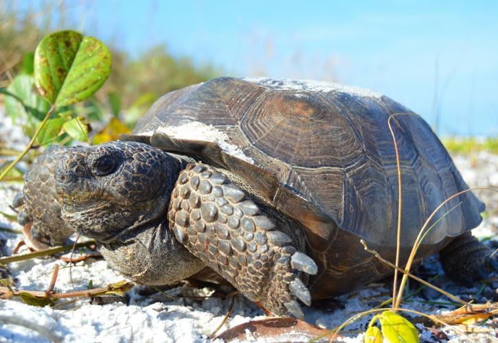 Gopher Tortoise at Lovers Key