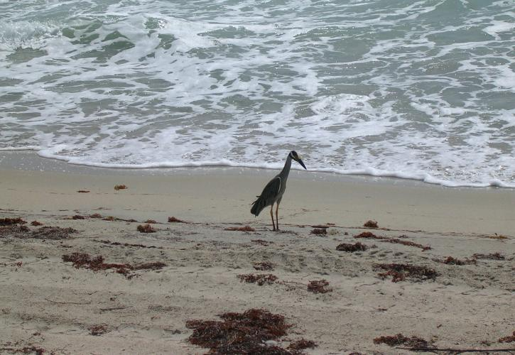 Night Heron on the beach