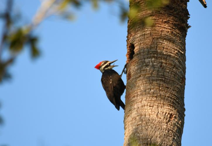 Pileated woodpecker on a palm trunk