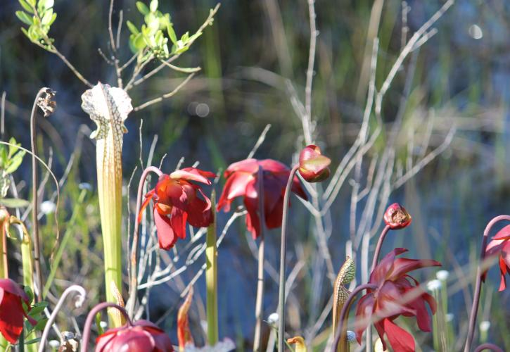 Yellow River Marsh Pitcher Plant