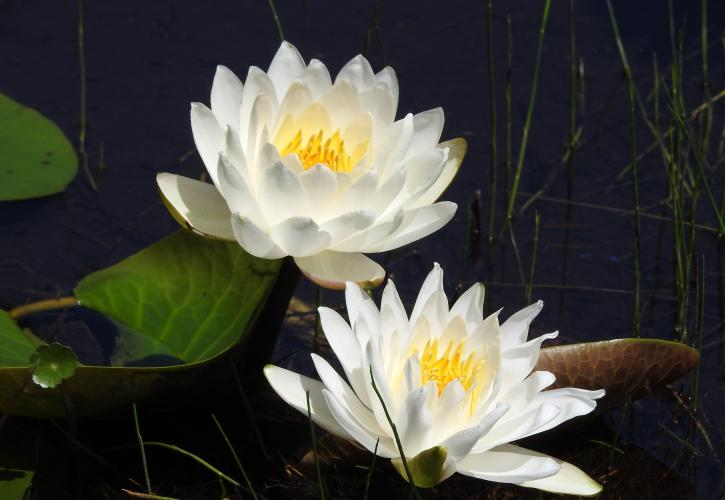 Water lilies in bloom.