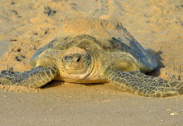 Adult Loggerhead turtle