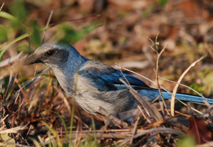 A Florida Scrub Jay sits in the brush