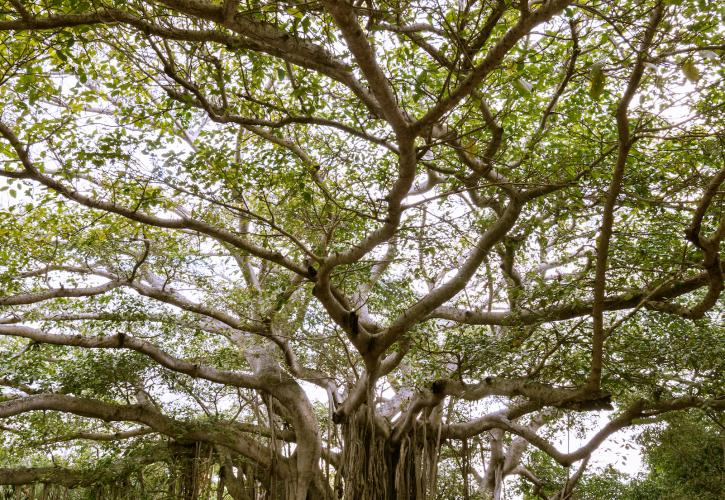 Banyon Tree
