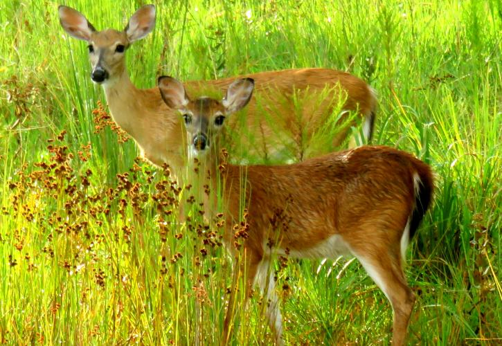 Two deer surrounded by lush green vegetation.
