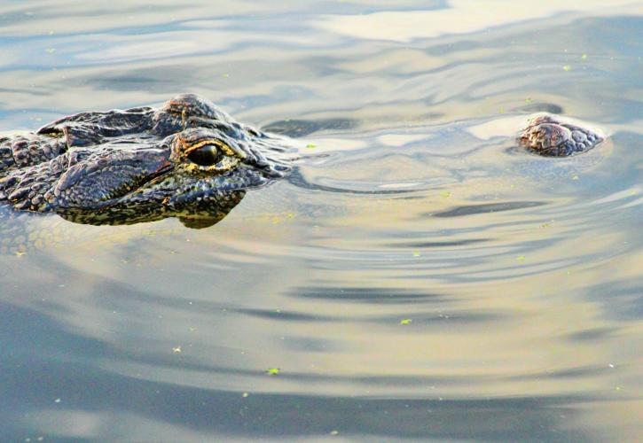 Eyes and nose of an alligator peek up through calm water.