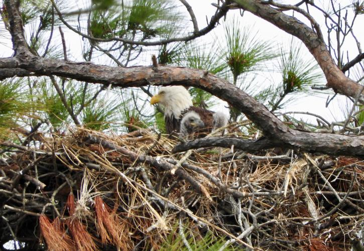 Eagle sits in nest surrounded by tree branches.