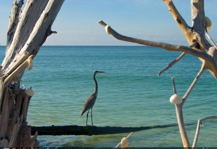Stump Pass Beach Heron