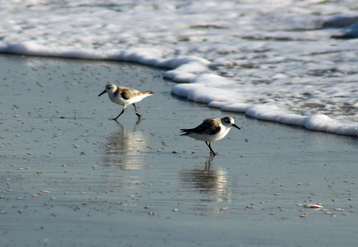 Stump Pass Beach Sanderlings