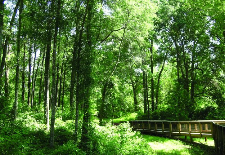 Tall trees and lush green vegetation along boardwalk.