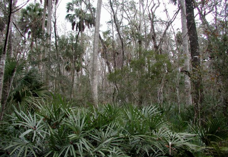 Hydric hammock of palms, palmettos and cedar trees