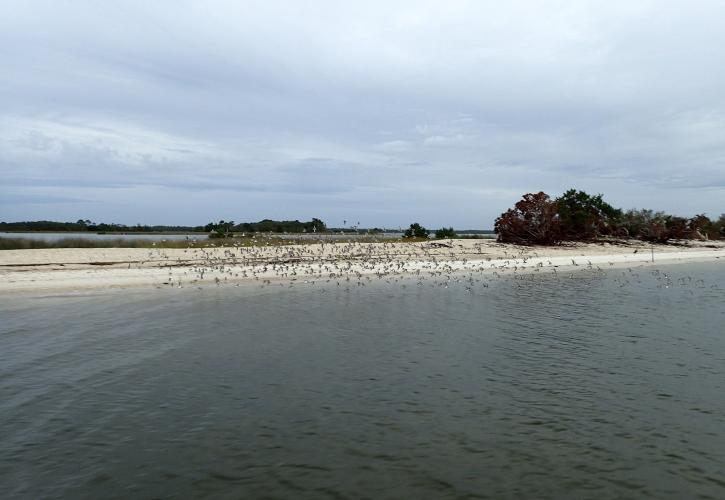 Large group of birds take flight from island in the bay