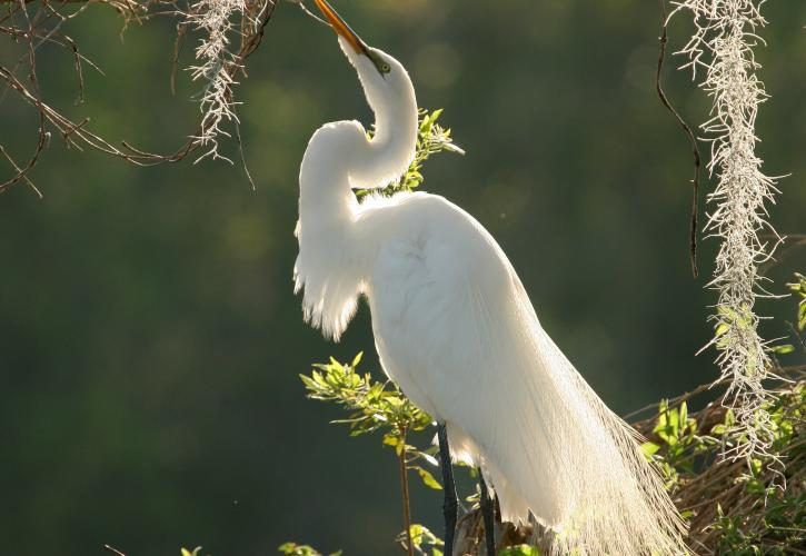 Great Egret during the evening light