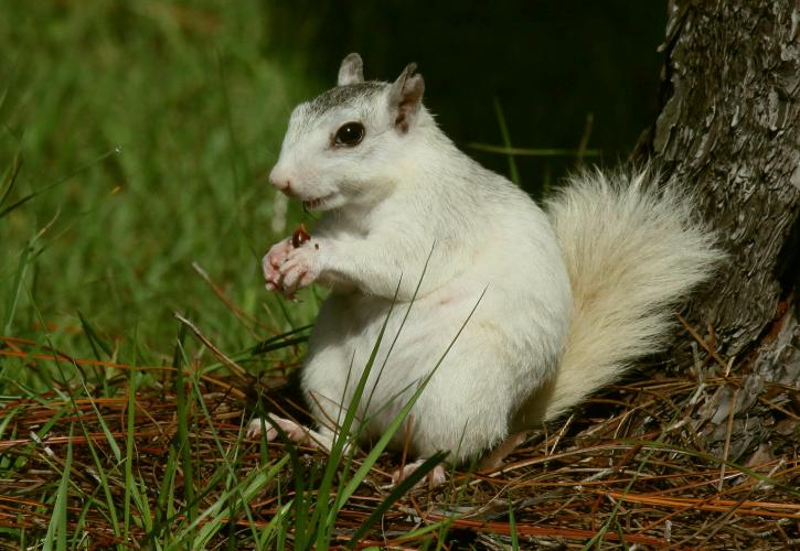White squirrel sitting upright eating.