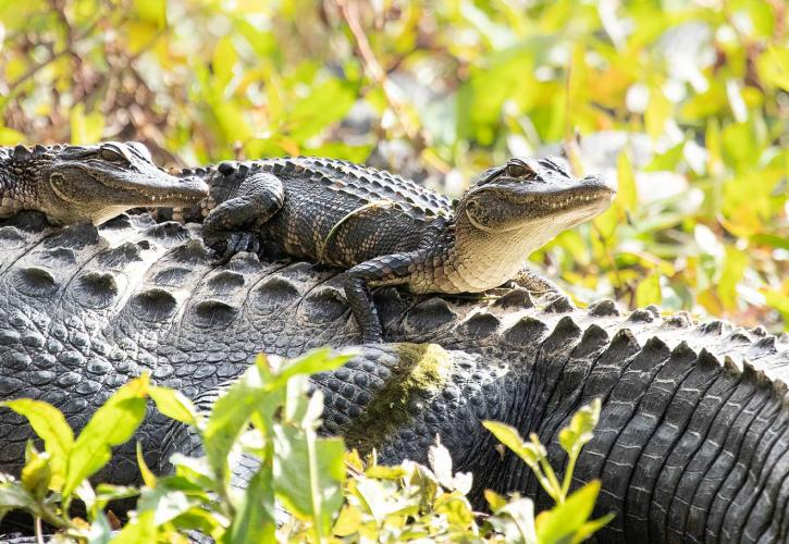 Two young alligators sit on the back of their mother.
