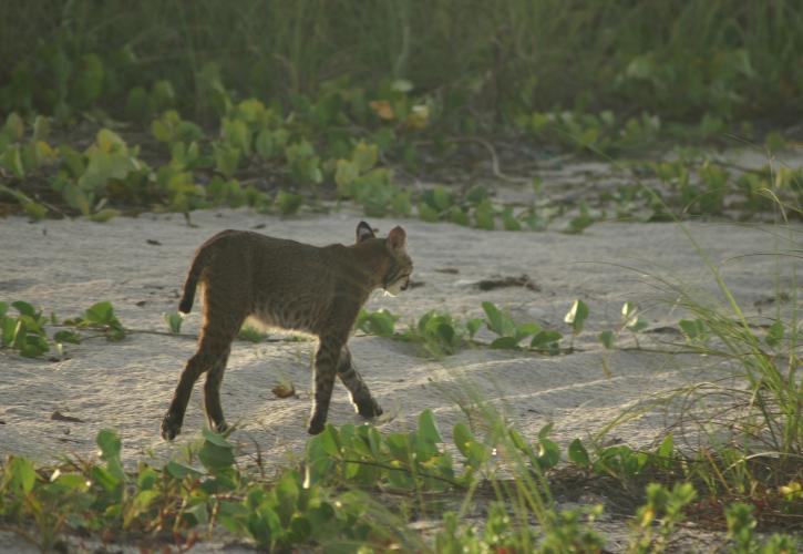 Bobcat on Beach at Fort Pierce Inlet