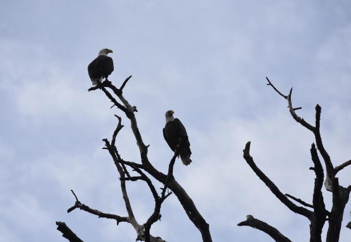 Pair of eagles perched on tree branches