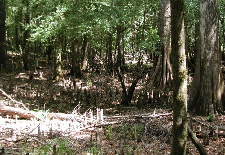 cypress tree roots are exposed in the middle of a forest