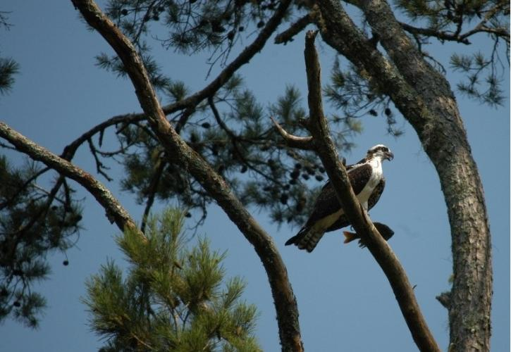 a white and grey osprey sits at the top of a tall pine tree with a fish in it's talons