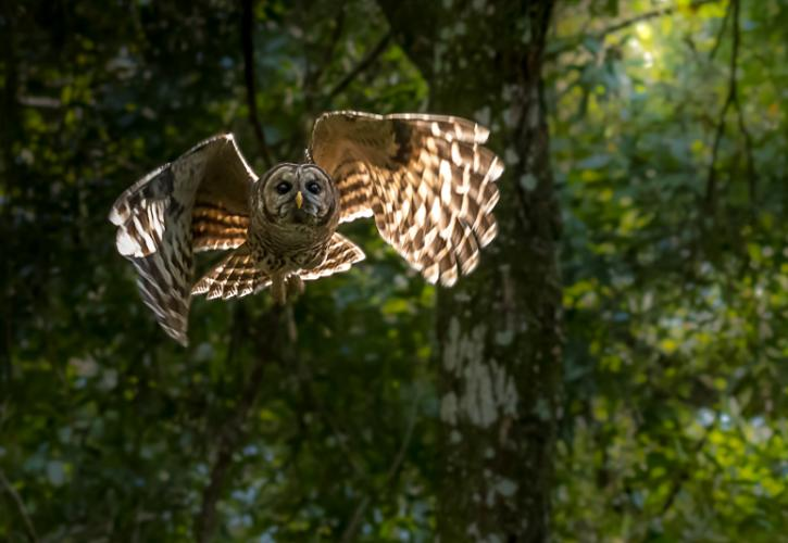 a barred owl flies through the sunlight, looking up.