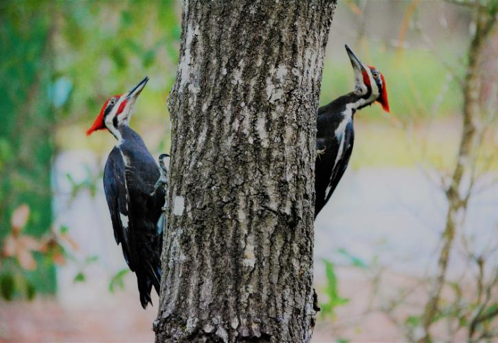 Image of two pileated woodpeckers perched on either side of an oak tree with bright red crests and black and white feathers.
