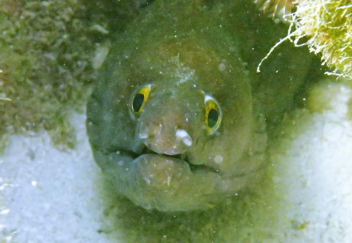 A purplemouth moray eel hides under a rock.