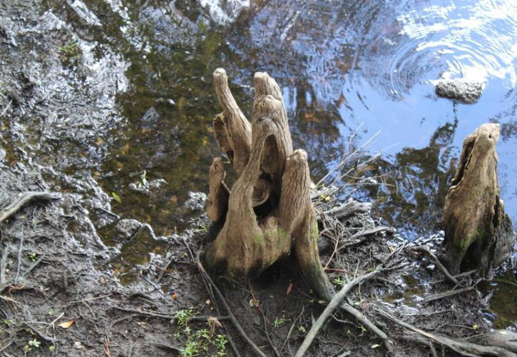 a twisted cypress root sticks out of the mud