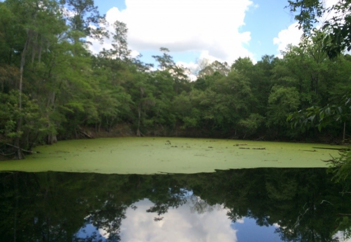 an algae covered lake ringed with trees