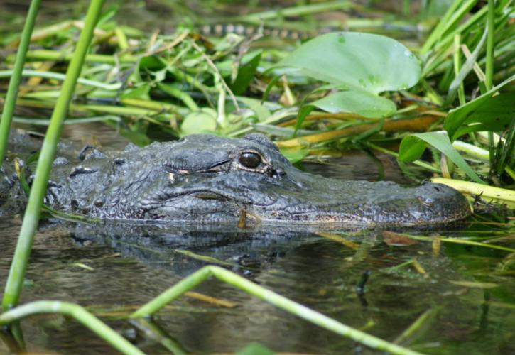 Image of an alligator's partially submerged head at suwannee river state park.