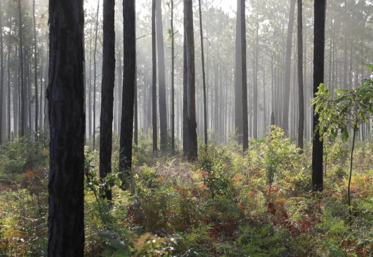 Image of dark pine tree trunks standing out in the mist at suwannee river state park.