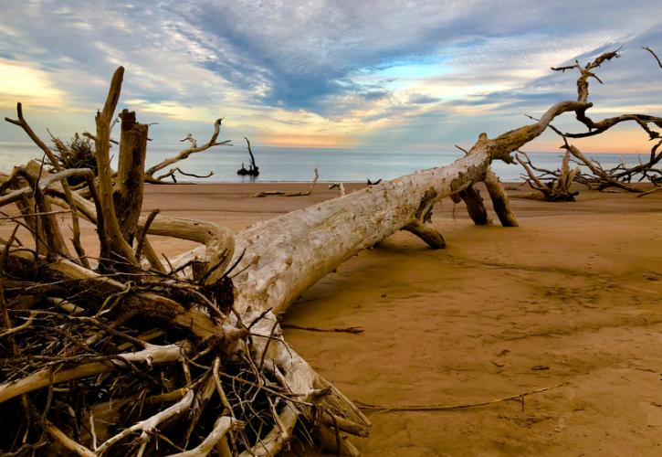 a giant dead tree lies with roots exposed on the beach