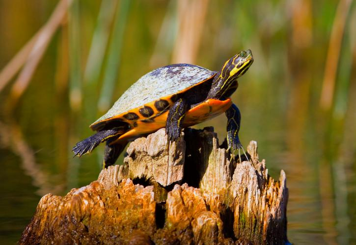 A brightly yellow-striped turtle perches precariously in the middle of the water on a wood stump.